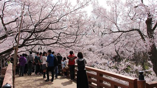 ดูให้รู้ - ซากุระ ดอกไม้สร้างเมือง
