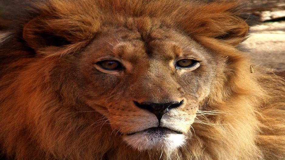 เปิดโลกสัตว์หรรษา - สิงโตเจ้าป่า