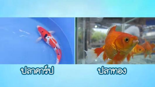 Animals Speak - หลงเสน่ห์สีสัน ปลาทอง ปลาคาร์ป
