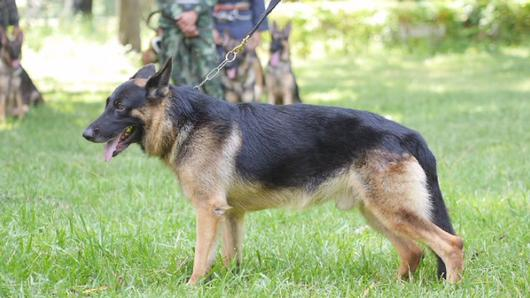 Animals Speak - สุนัขทหาร...สุนัขรักชาติ