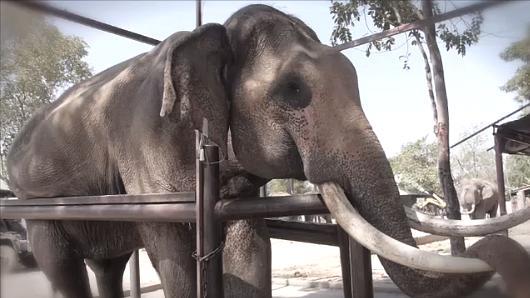 Animals Speak - ช้างไทย...อย่าให้เหลือไว้แค่งา