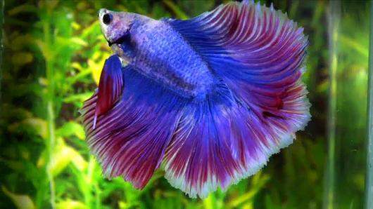 Animals Speak - สนุกกับสีปลากัด ตะลึงสารพัดลายกระเบน