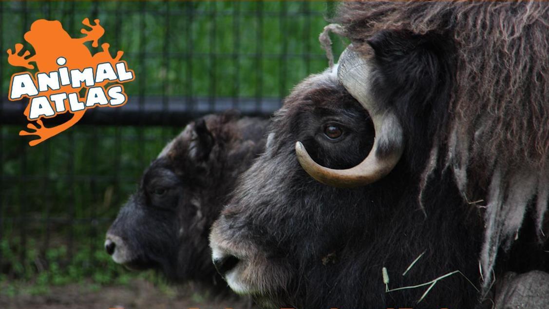 เปิดโลกสัตว์หรรษา - คิงคองตัวจริง