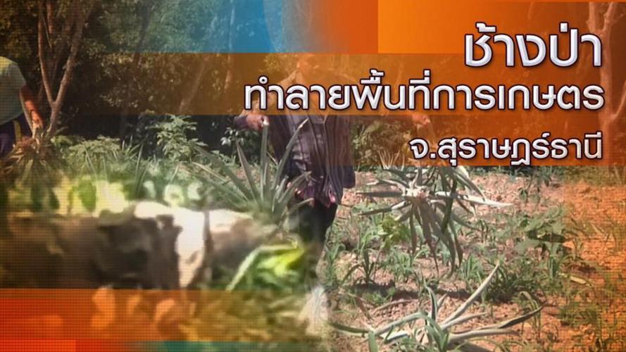 ร้องทุก(ข์) ลงป้ายนี้ - ช้างป่าทำลายพื้นที่การเกษตร จ.สุราษฎร์ธานี