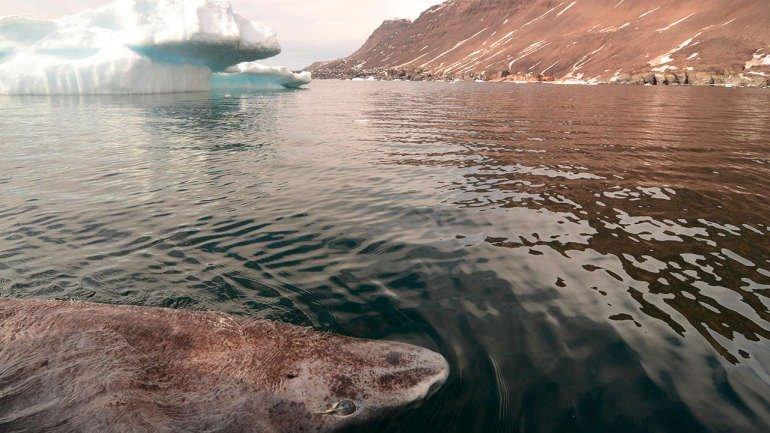 คิดส์เป็นข่าว - ฉลามกรีนแลนด์