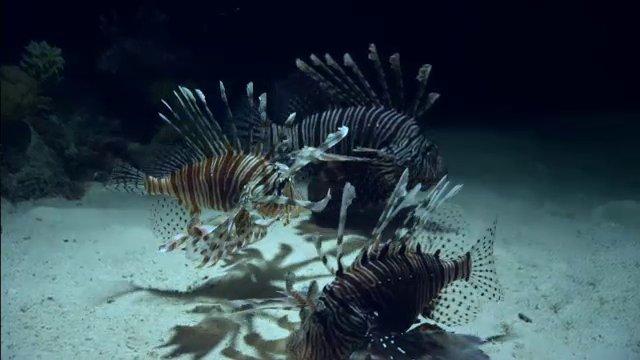 มิติโลกหลังเที่ยงคืน - อัศจรรย์สัตว์โลกผู้พิชิต ตอน ปลาสิงโต