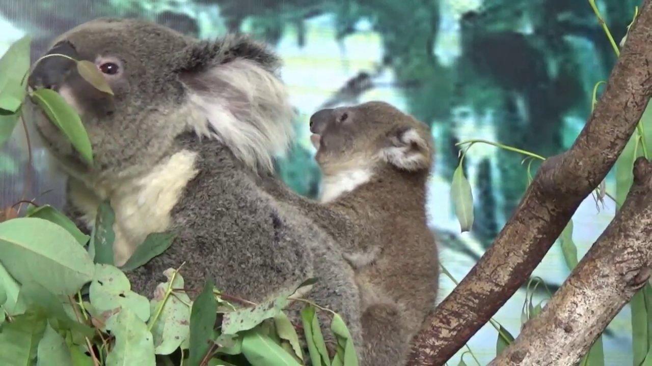 คิดส์ทันข่าว - หมีโคอาลา