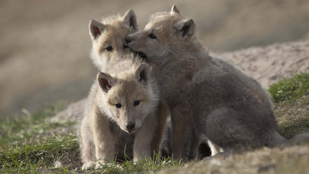 ท่องโลกกว้าง - ครอบครัวหมาป่าหิมะ ตอนที่ 2
