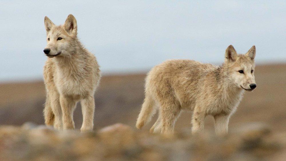 ท่องโลกกว้าง - ครอบครัวหมาป่าหิมะ ตอนที่ 3