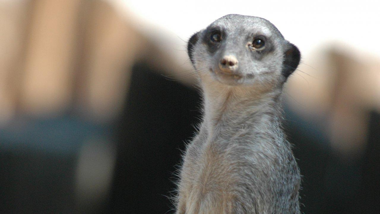 เปิดโลกสัตว์หรรษา - กอริลลา ยักษ์ใหญ่ใจดี
