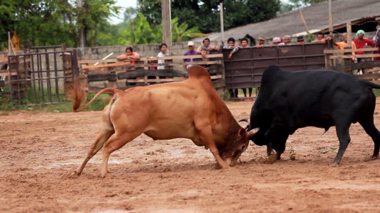 คนชนวัว