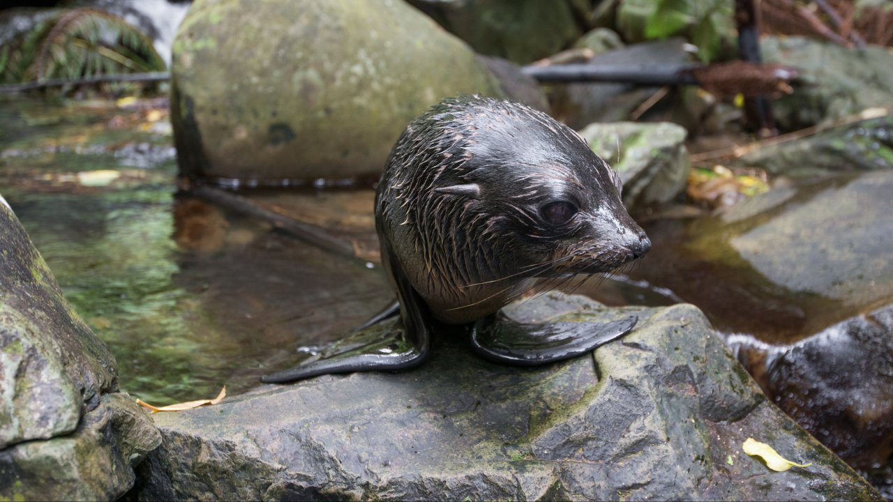 ท่องโลกกว้าง - แมวน้ำขน ตอน แข่งขันสู่ความอยู่รอดถึงวันเกิดปีแรก