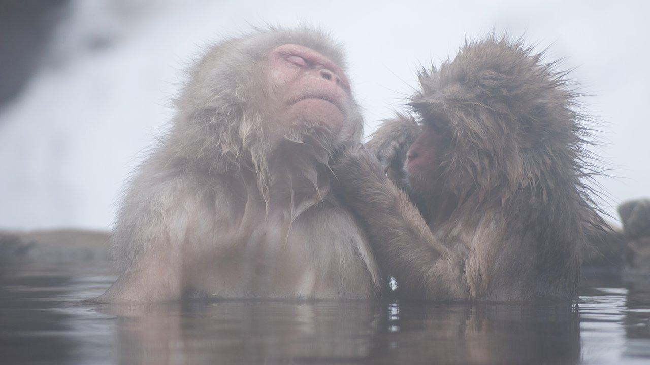 ท่องโลกกว้าง - ลิงหิมะญี่ปุ่น