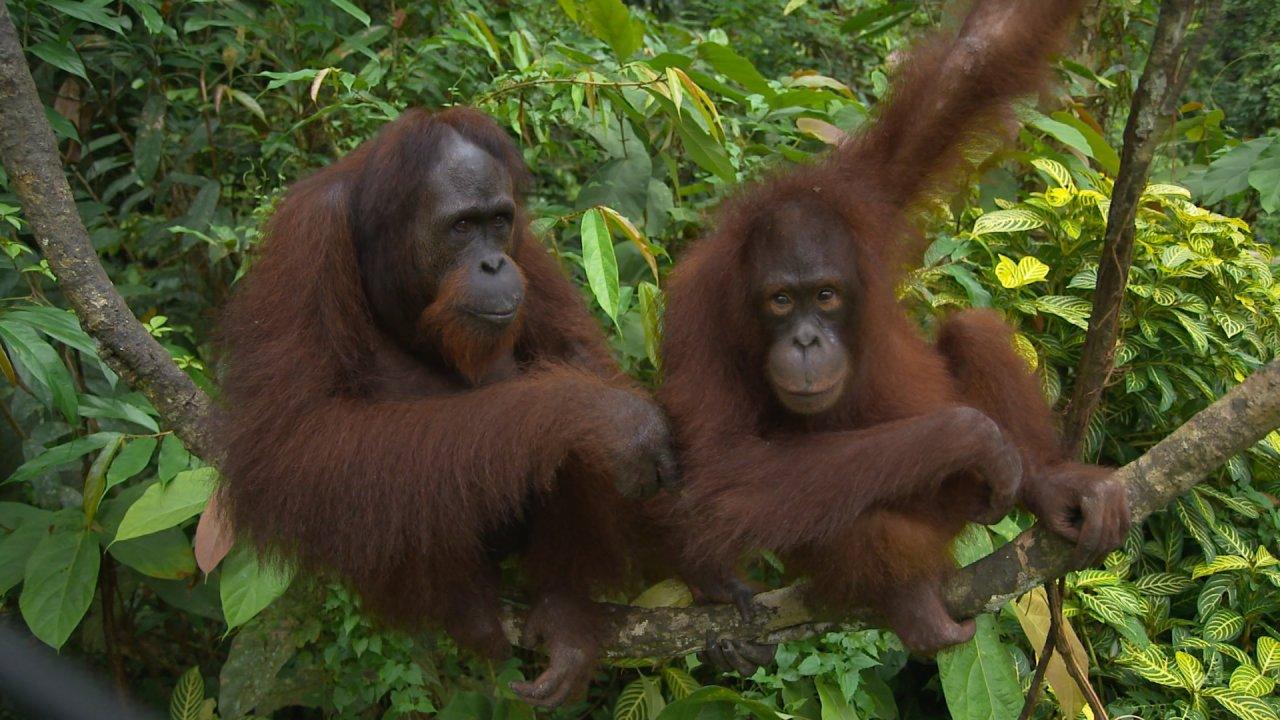 ท่องโลกกว้าง - ชีวิตสัตว์โลก ตอน ลิงอุรังอุตัง