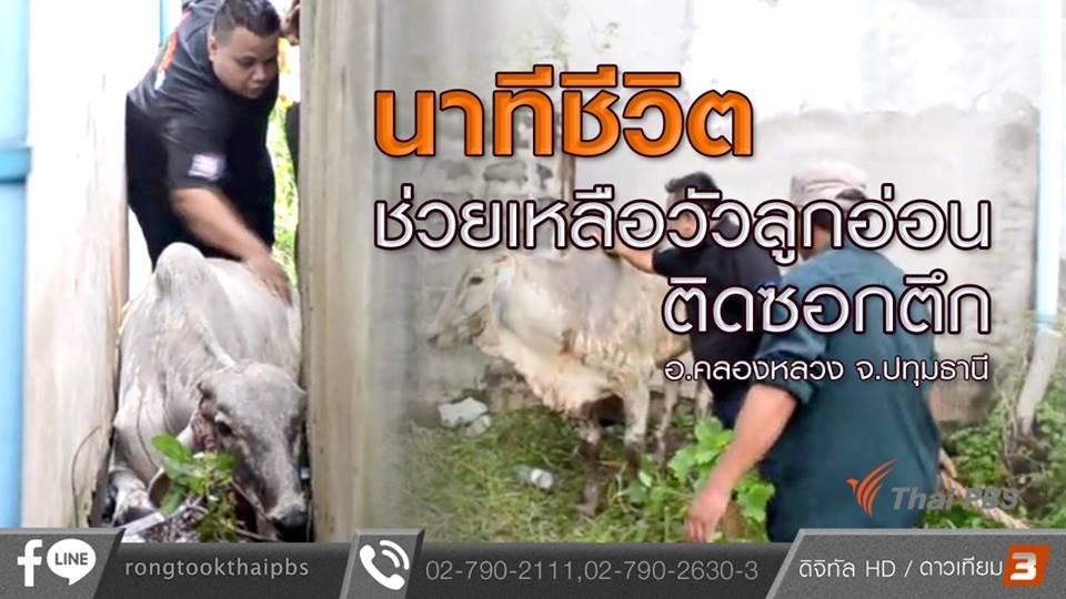 ร้องทุก(ข์) ลงป้ายนี้ - นาทีชีวิต ช่วยเหลือวัวลูกอ่อนติดซอกตึก อ.คลองหลวง จ.ปทุมธานี