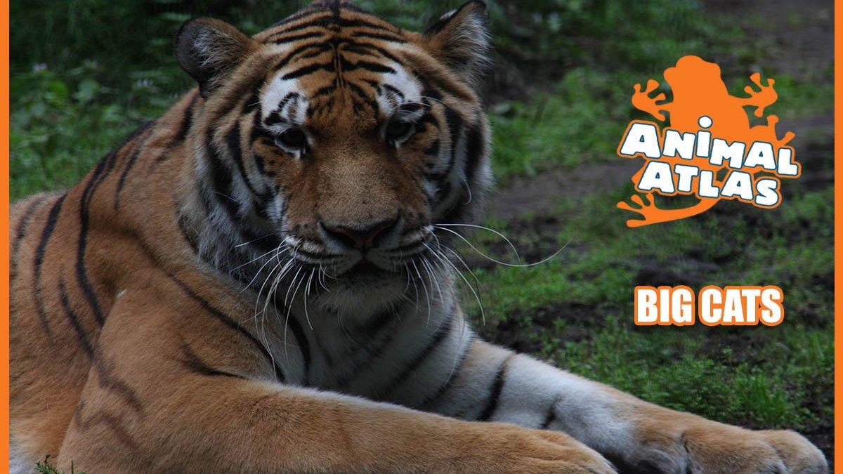 เปิดโลกสัตว์หรรษา - เสือ