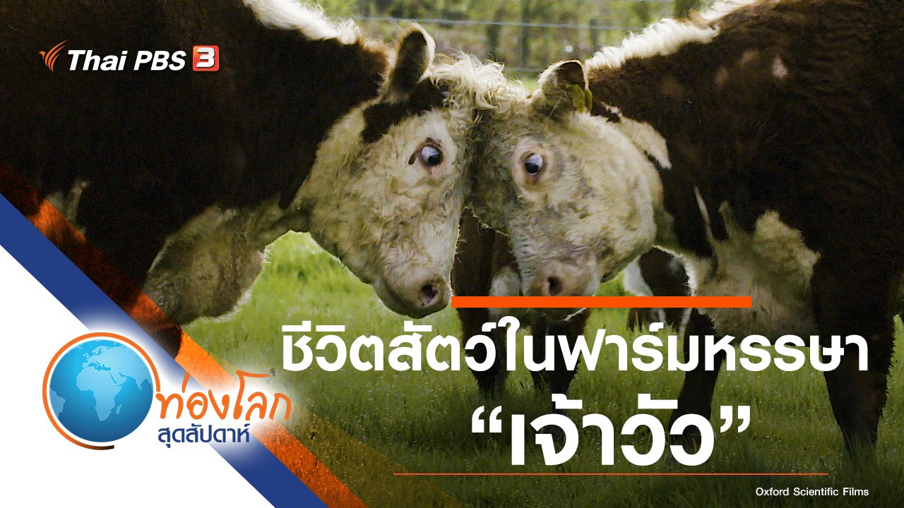 ท่องโลกสุดสัปดาห์ - ชีวิตสัตว์ในฟาร์มหรรษา ตอน เจ้าวัว