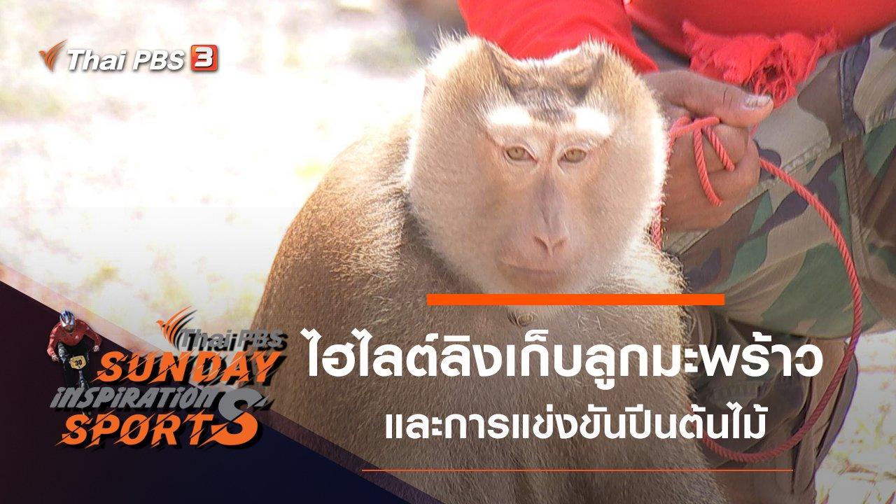 Sunday Inspiration Sports - ไฮไลต์การแข่งขันลิงเก็บลูกมะพร้าว - การแข่งขันปีนต้นไม้