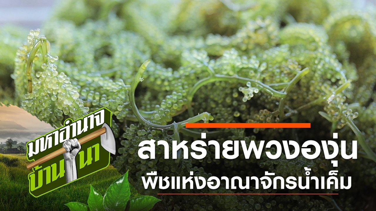 มหาอำนาจบ้านนา - สาหร่ายพวงองุ่น พืชแห่งอาณาจักรน้ำเค็ม