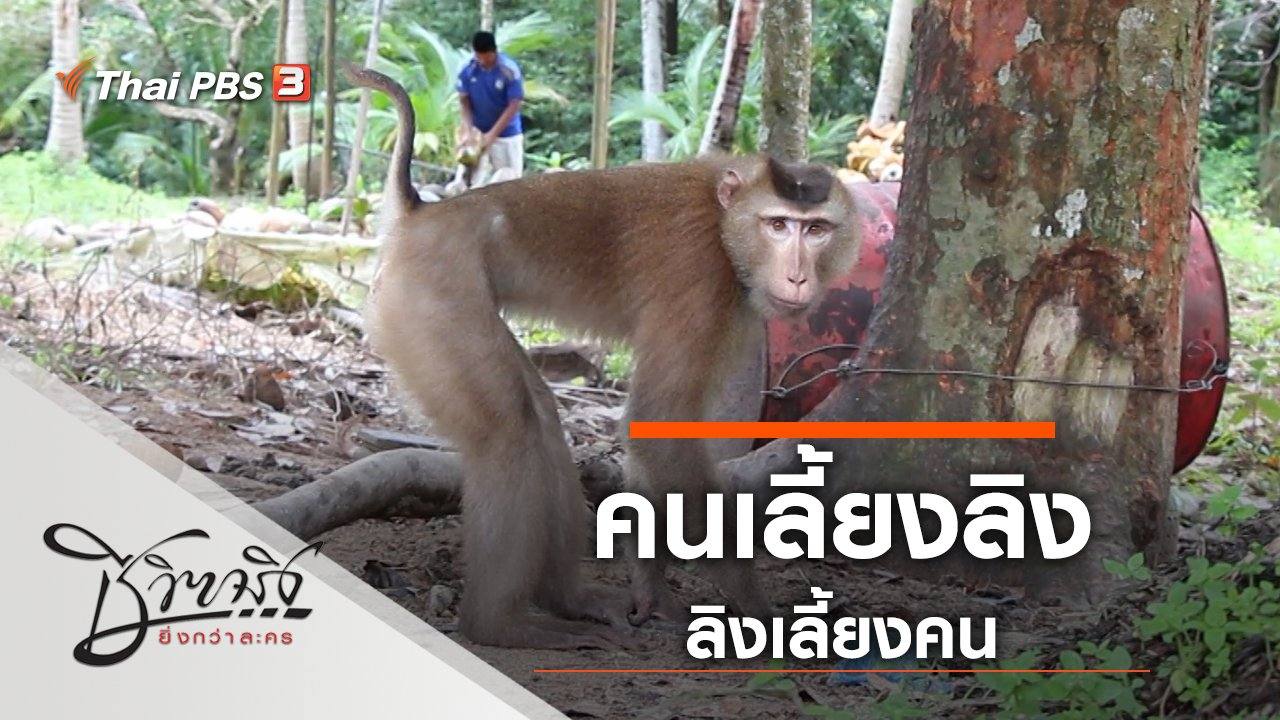 ชีวิตจริงยิ่งกว่าละคร - คนเลี้ยงลิง ลิงเลี้ยงคน