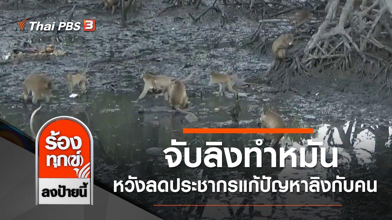 ร้องทุก(ข์) ลงป้ายนี้ - จับลิงทำหมัน หวังลดประชากรแก้ปัญหาลิงกับคน จ.ภูเก็ต