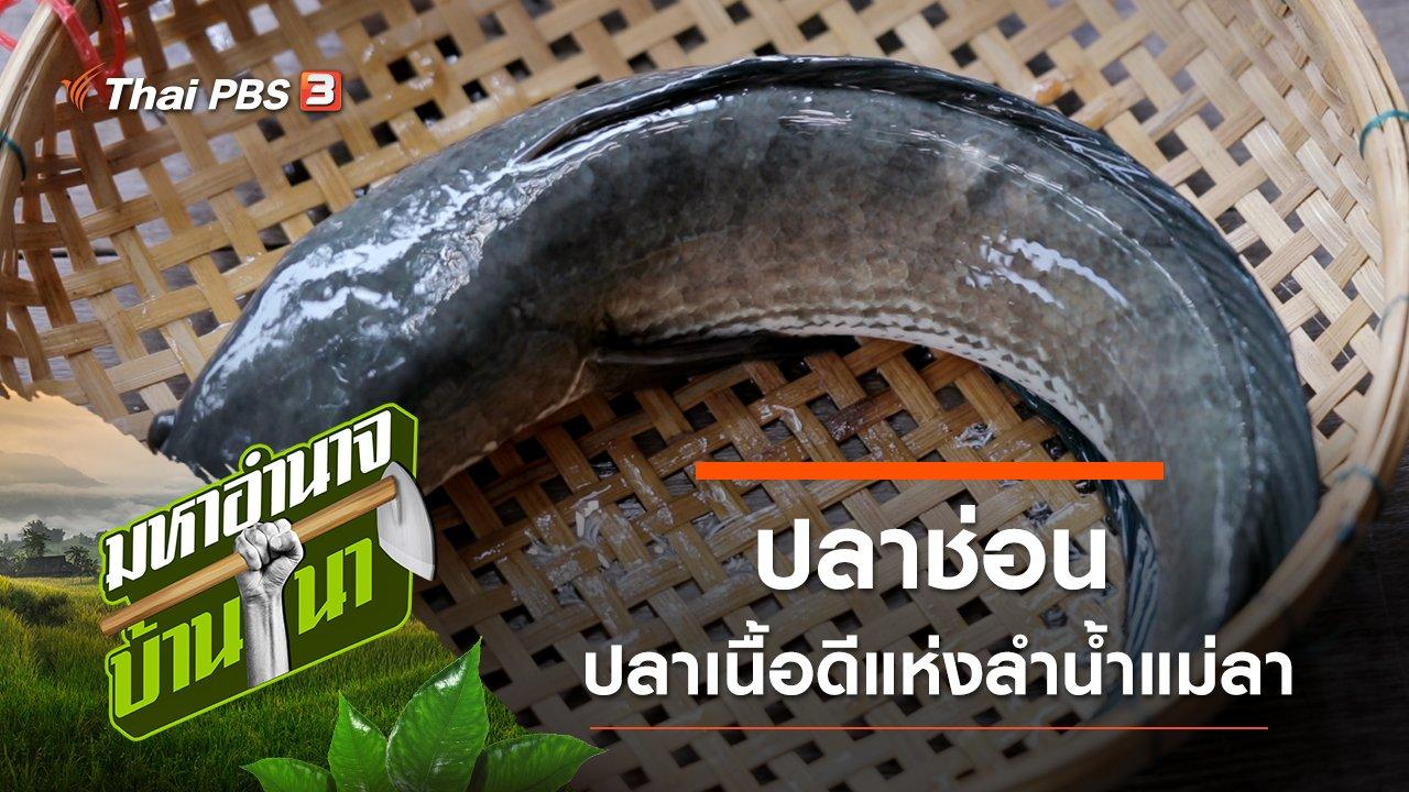 มหาอำนาจบ้านนา - ปลาช่อน ปลาเนื้อดีแห่งลำน้ำแม่ลา