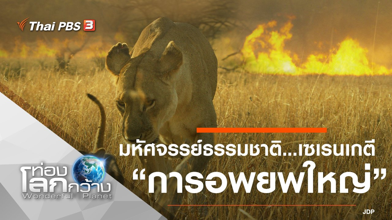 ท่องโลกกว้าง - มหัศจรรย์ธรรมชาติ...เซเรนเกตี ตอน การอพยพใหญ่