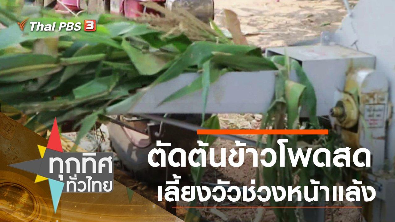 ทุกทิศทั่วไทย - ตัดต้นข้าวโพดสดเลี้ยงวัวช่วงหน้าแล้ง