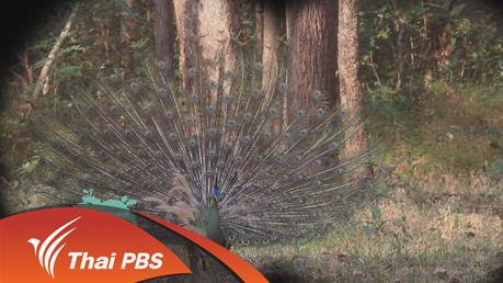 Nature Spy สายลับธรรมชาติ - นกยูงราชินีแห่งแม่วงก์