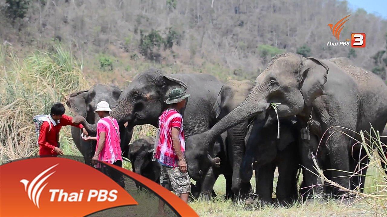 ที่นี่บ้านเรา - กะญอ กะซอ : คนเลี้ยงช้างแห่งบ้านปูเต้อ