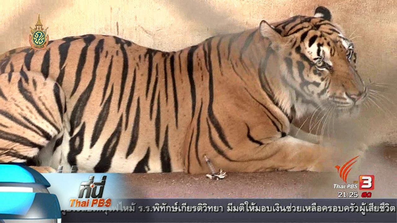 ที่นี่ Thai PBS - ที่นี่ Thai PBS : พบซากเสือ 40 ตัว วัดหลวงตาบัว