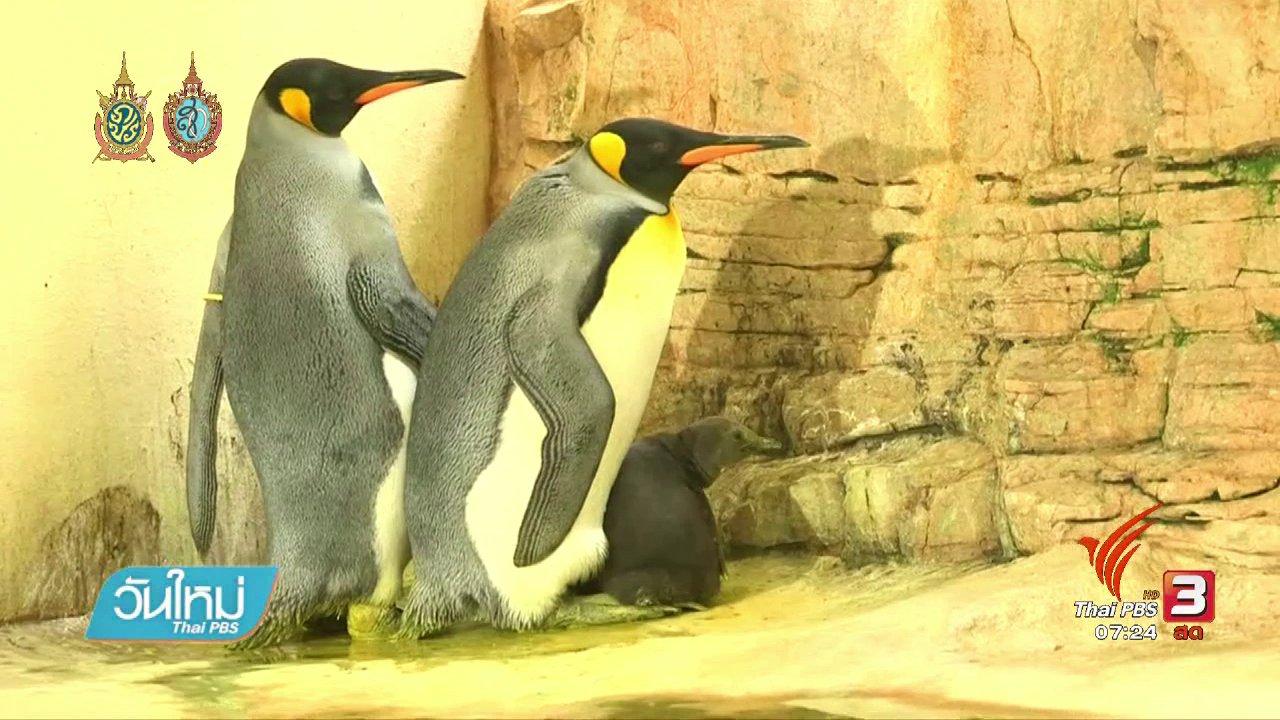 วันใหม่  ไทยพีบีเอส - ลูกเพนกวินเพิ่งเผยโฉมได้หลังเกิด 4 สัปดาห์