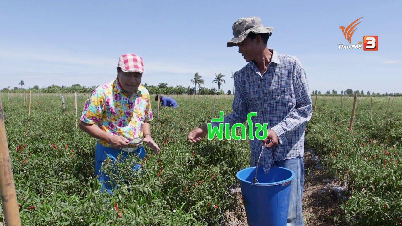 วันใหม่  ไทยพีบีเอส - สายสืบเจาะตลาด : สำรวจราคาพริกหน้าแผงและหน้าสวน