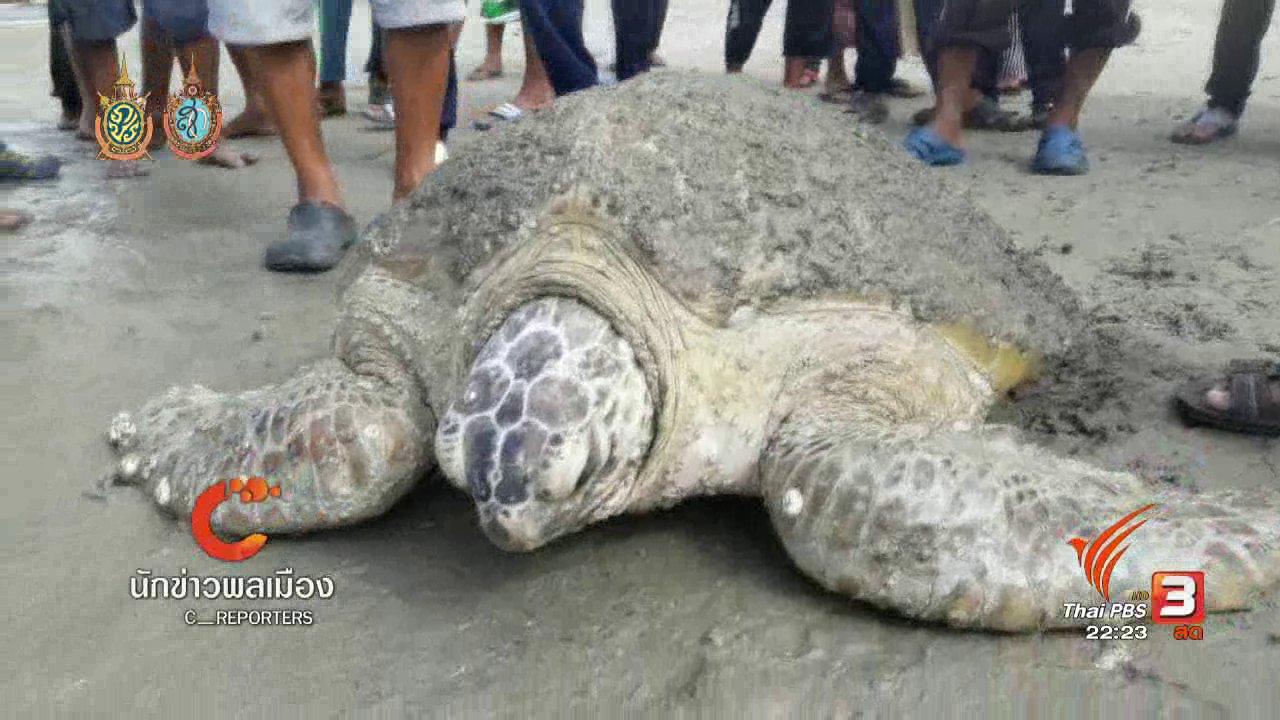 ที่นี่ Thai PBS - พบเต่าตนุบาดเจ็บนอนเกยที่ชายหาดปากบารา จ.สตูล