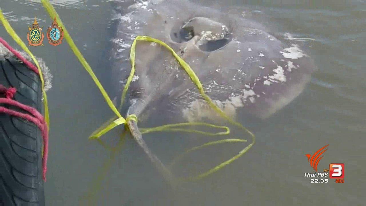 ที่นี่ Thai PBS - ที่นี่ Thai PBS : พิสูจน์สาเหตุปลากระเบนราหูน้ำจืดตาย
