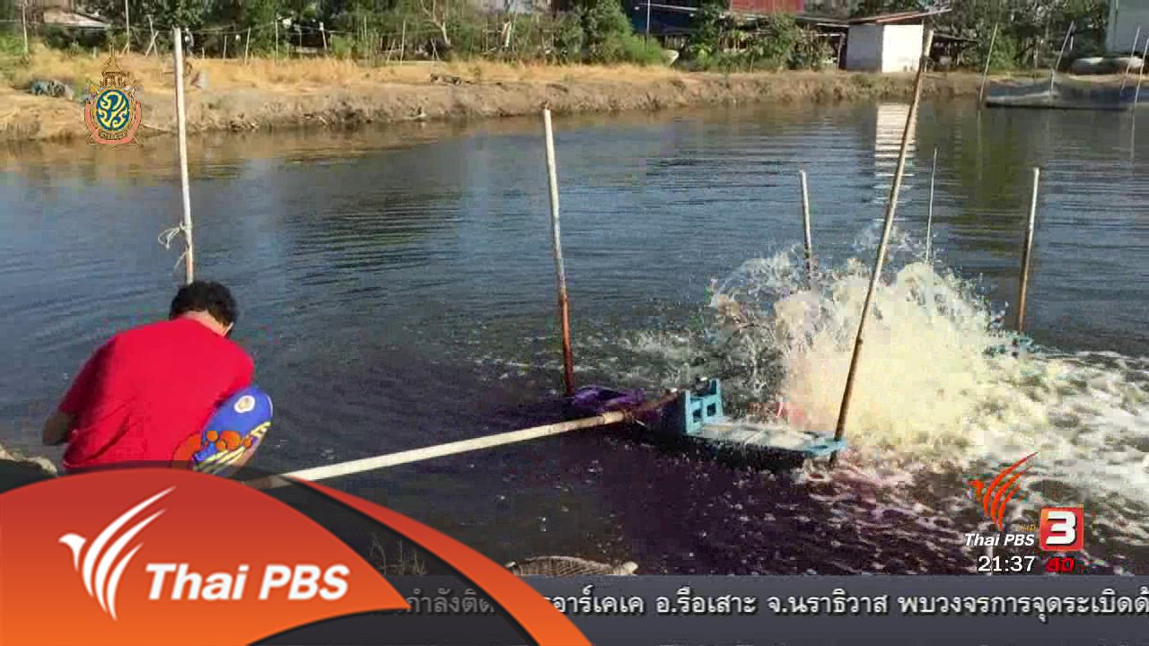 ที่นี่ Thai PBS - นักข่าวพลเมือง : ปลาเชลย รายได้เสริมคู่ปลาสลิด