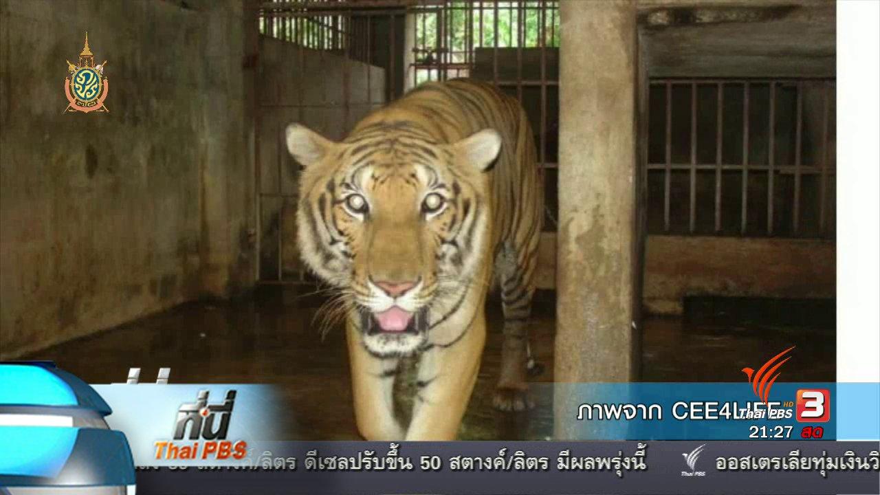 """ที่นี่ Thai PBS - ที่นี่ Thai PBS : เจ้าอาวาสวัดป่าหลวงตาบัวปฏิเสธ """"ค้าเสือโคร่ง"""""""
