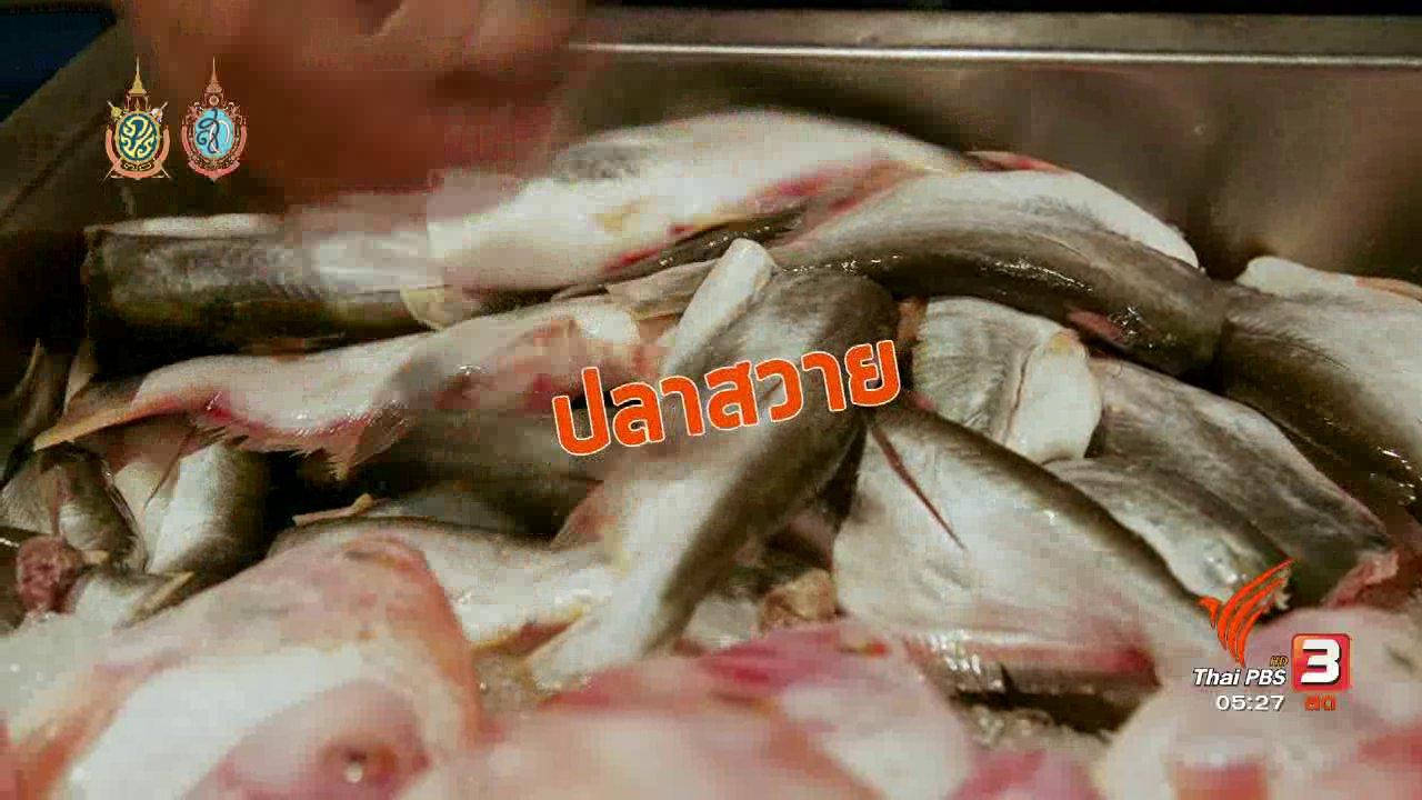 วันใหม่  ไทยพีบีเอส - สายสืบเจาะตลาด : สำรวจราคาปลาน้ำจืด จ.สิงห์บุรี  (8 ส.ค. 59)