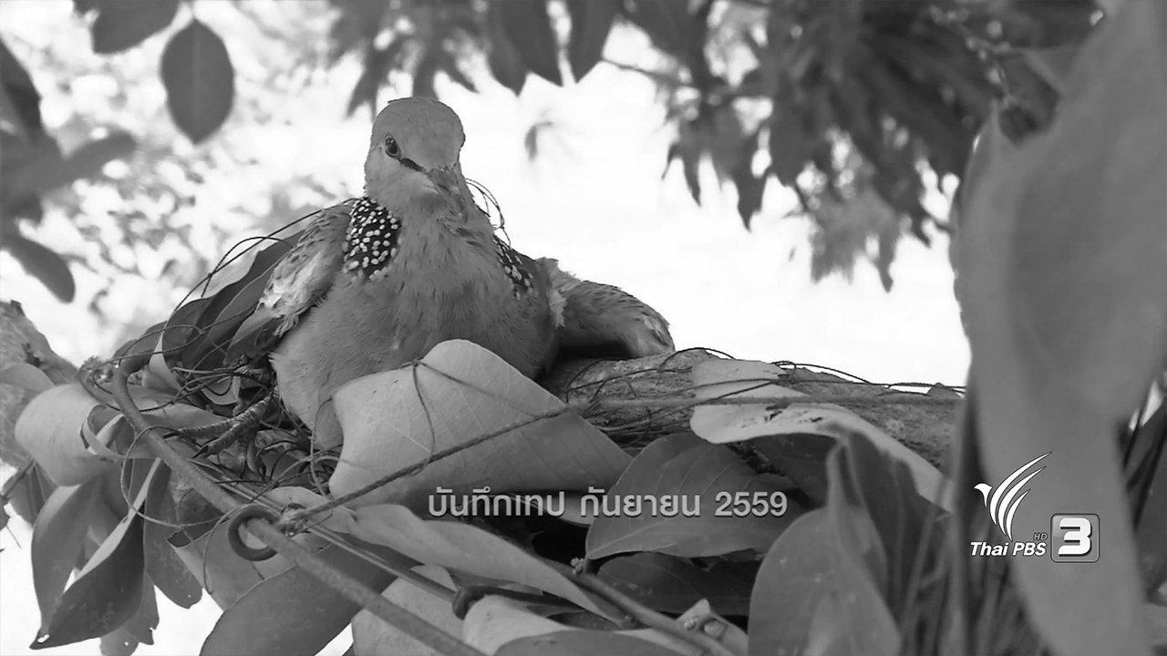 ข่าวค่ำ มิติใหม่ทั่วไทย - ตะลุยทั่วไทย : เพนียดนกเขา