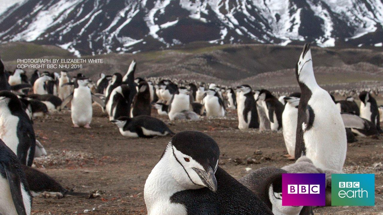 พิภพมหัศจรรย์  Planet Earth II - เพนกวินชินสแตรป