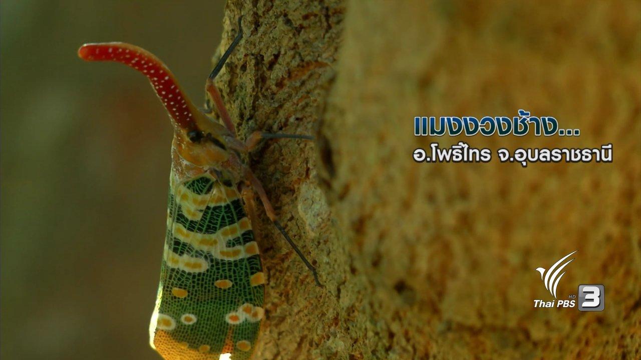 ข่าวค่ำ มิติใหม่ทั่วไทย - แมงงวงช้าง