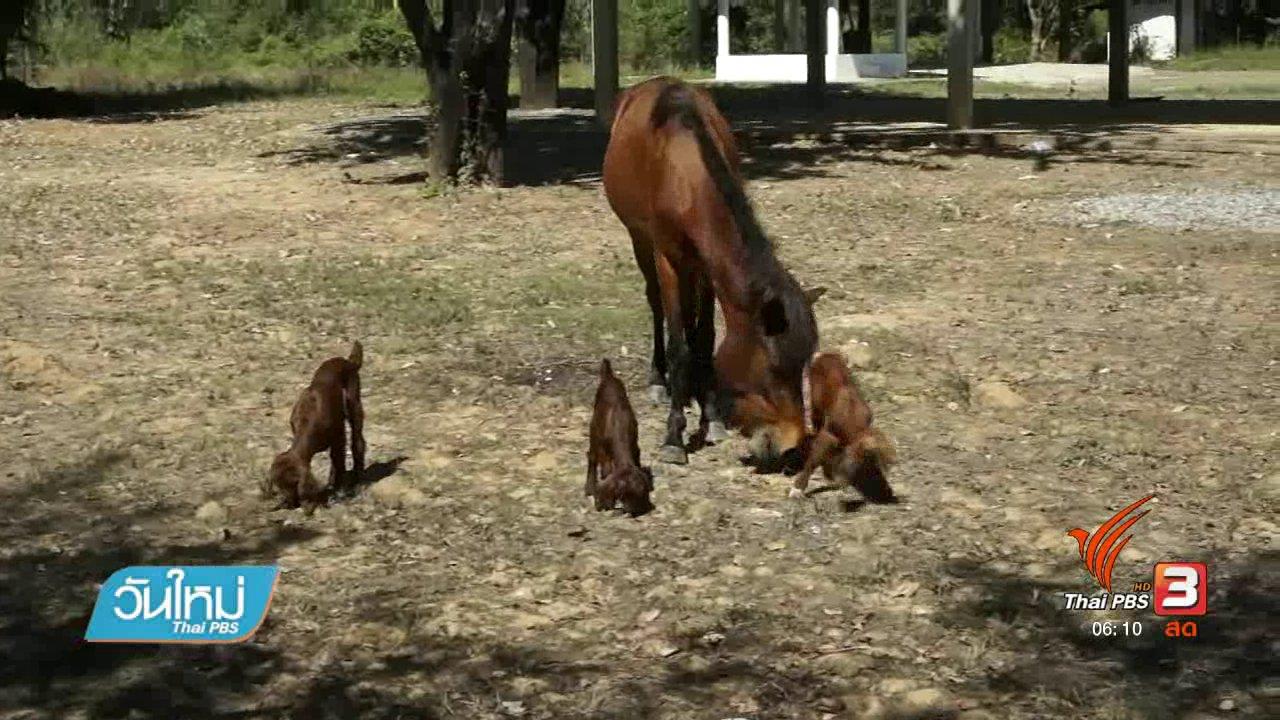 วันใหม่  ไทยพีบีเอส - ม้าสาวรักลูกแพะกำพร้าเหมือนเป็นลูกตัวเอง