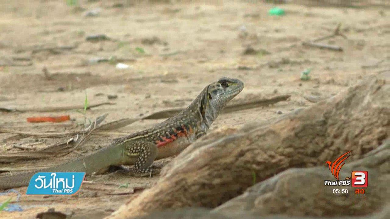 วันใหม่  ไทยพีบีเอส - ชาวกำแพงเพชรอนุรักษ์สายพันธุ์แย้มีกว่า 300 ตัว