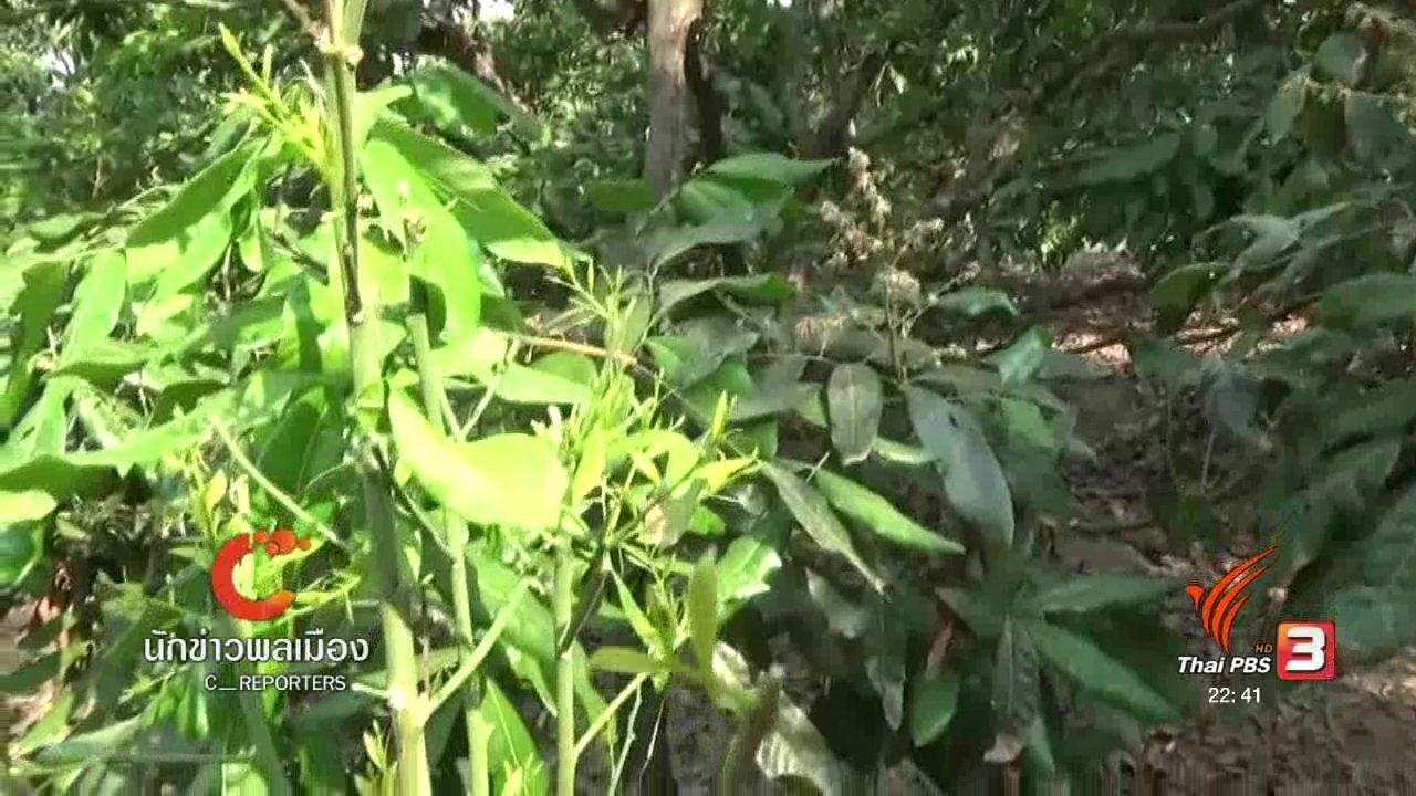"""ที่นี่ Thai PBS - นักข่าวพลเมือง : """"ผักหวานป่า"""" ปลูกได้ กำไรงาม"""