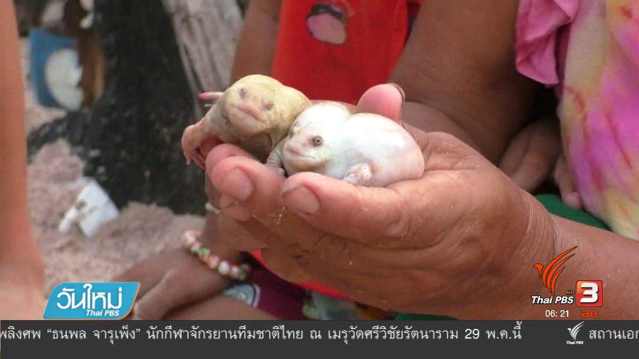 วันใหม่  ไทยพีบีเอส - ชาวบ้านฮือฮา จับอึ่งเผือกเพศผู้เพศเมีย