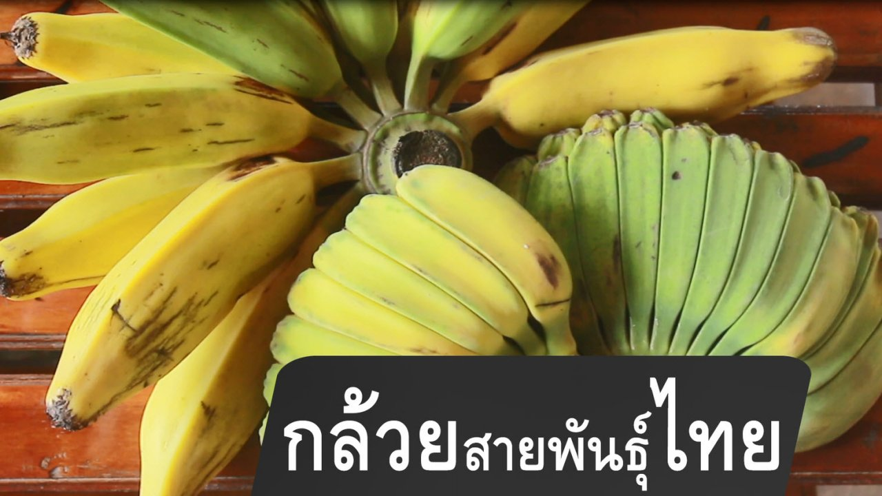 กินอยู่...คือ - กล้วยสายพันธุ์ไทย