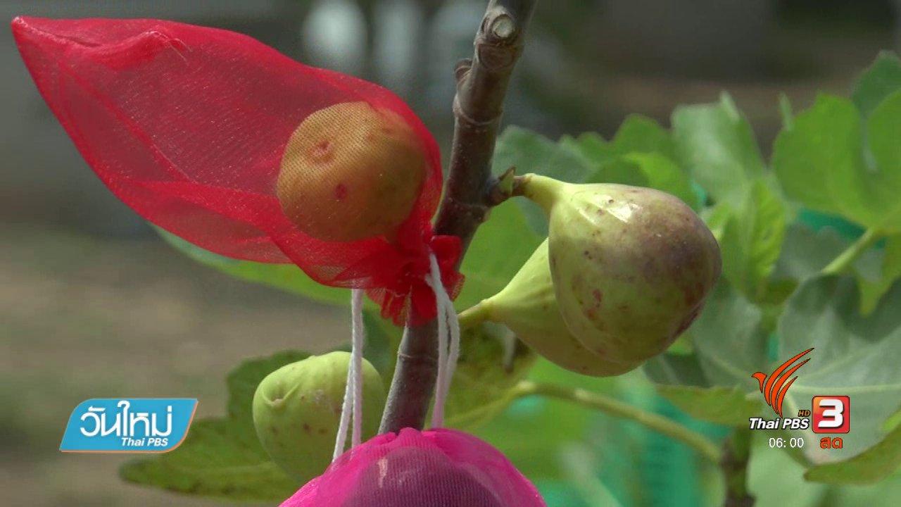 วันใหม่  ไทยพีบีเอส - อดีพนักงานบริษัทปลูกมะเดื่อฝรั่งขาย รายได้ดี
