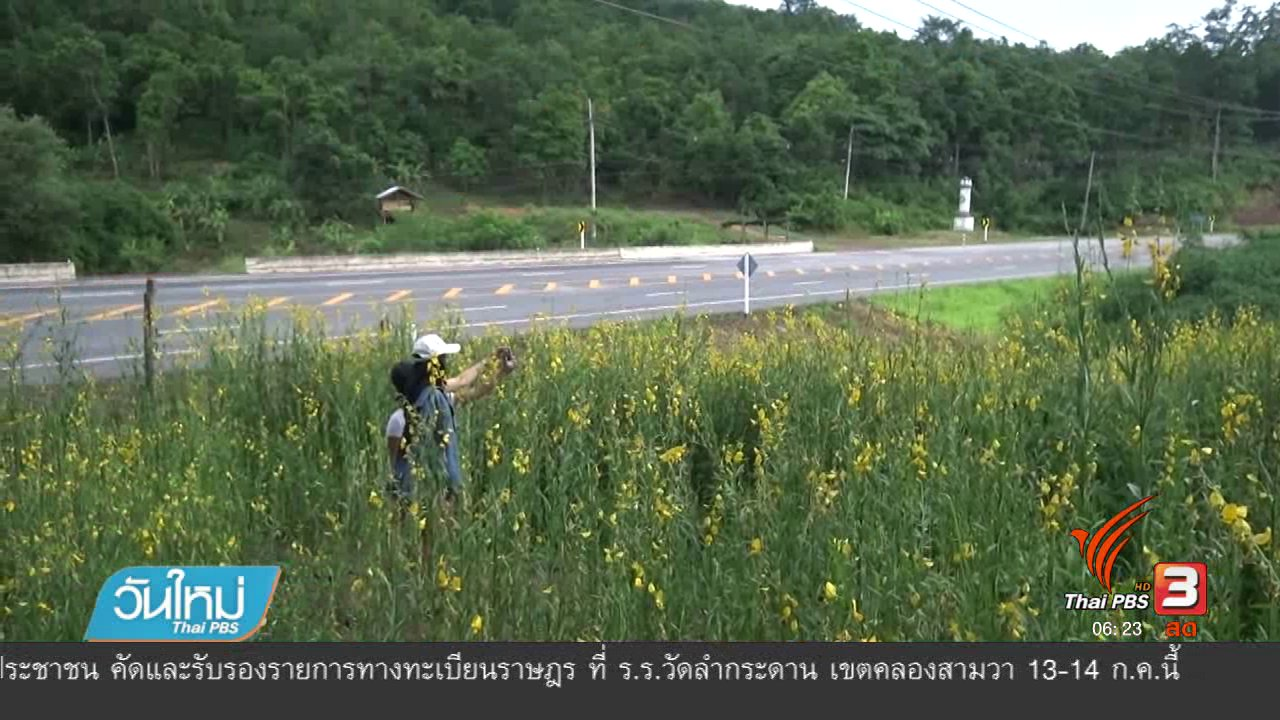วันใหม่  ไทยพีบีเอส - ทุ่งปอเทือง อ.วังทอง จังหวัดพิษณุโลก ออกดอกเหลืองสะพรั่ง