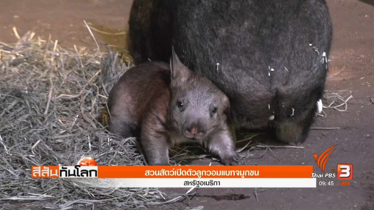 สีสันทันโลก - สวนสัตว์เปิดตัวลูกวอมแบทจมูกขน