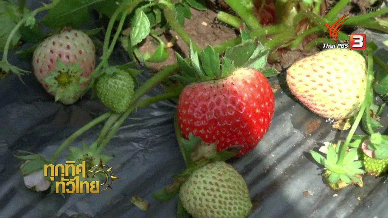 ทุกทิศทั่วไทย - เปิดไร่ชวนเที่ยว- ชิมสตรอว์เบอร์รี จ.พะเยา